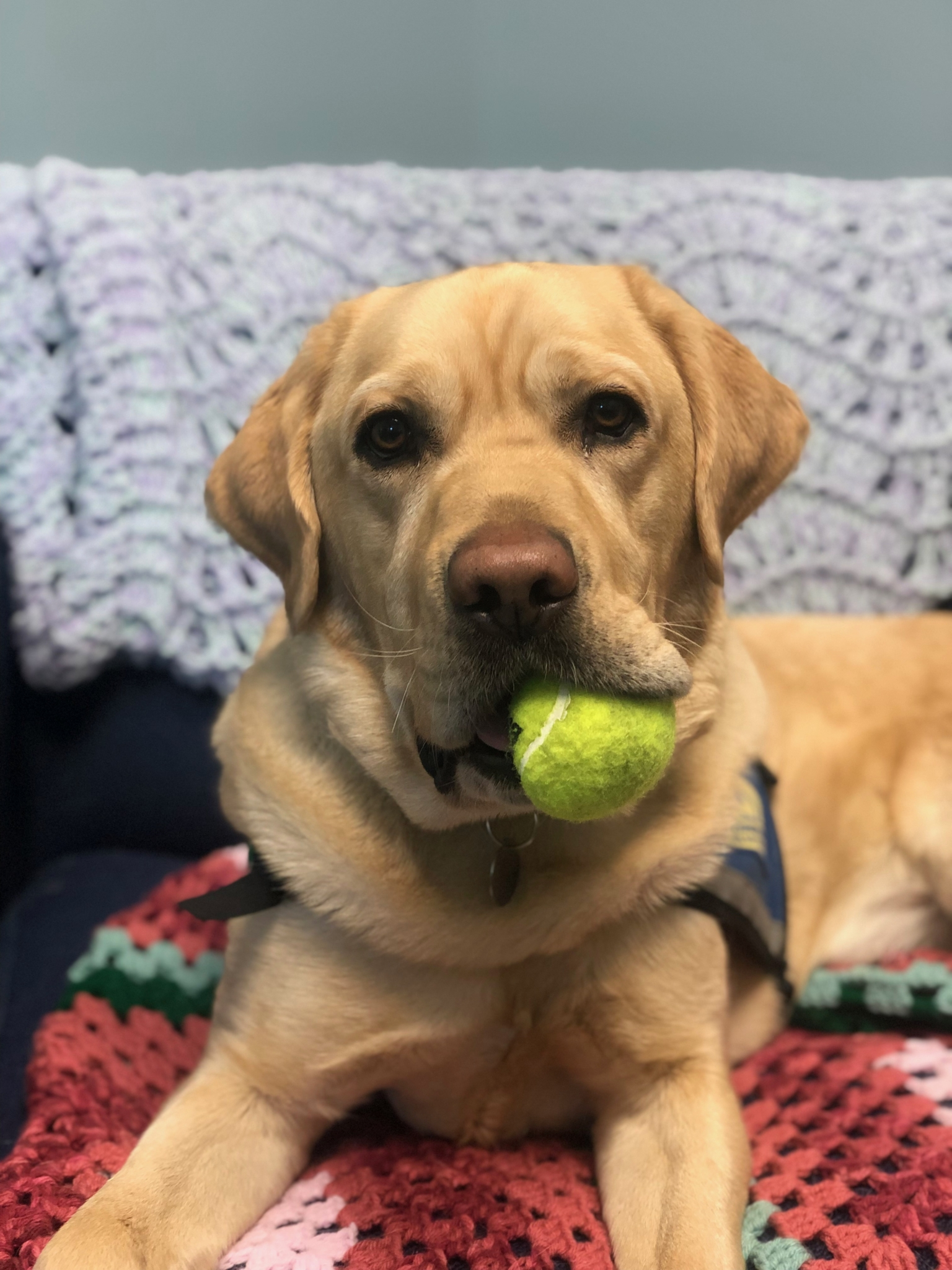 Facility dog Pongo with a tennis ball in his mouth